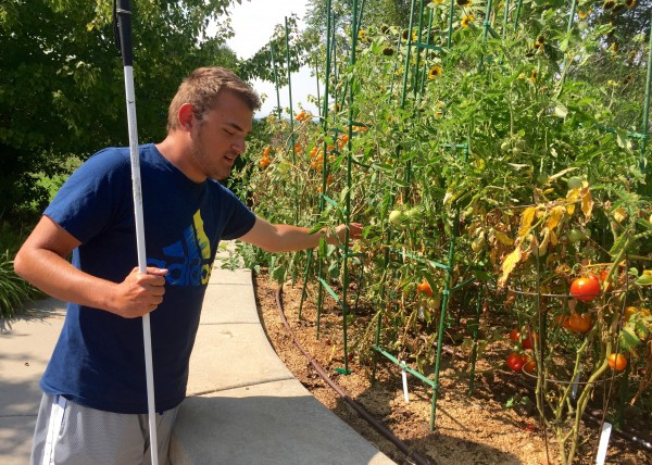 Young man reaches into a tomato cage to examine ripening fruit