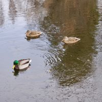 A Mallard drake and two hens swim in the pond at Sterne Park