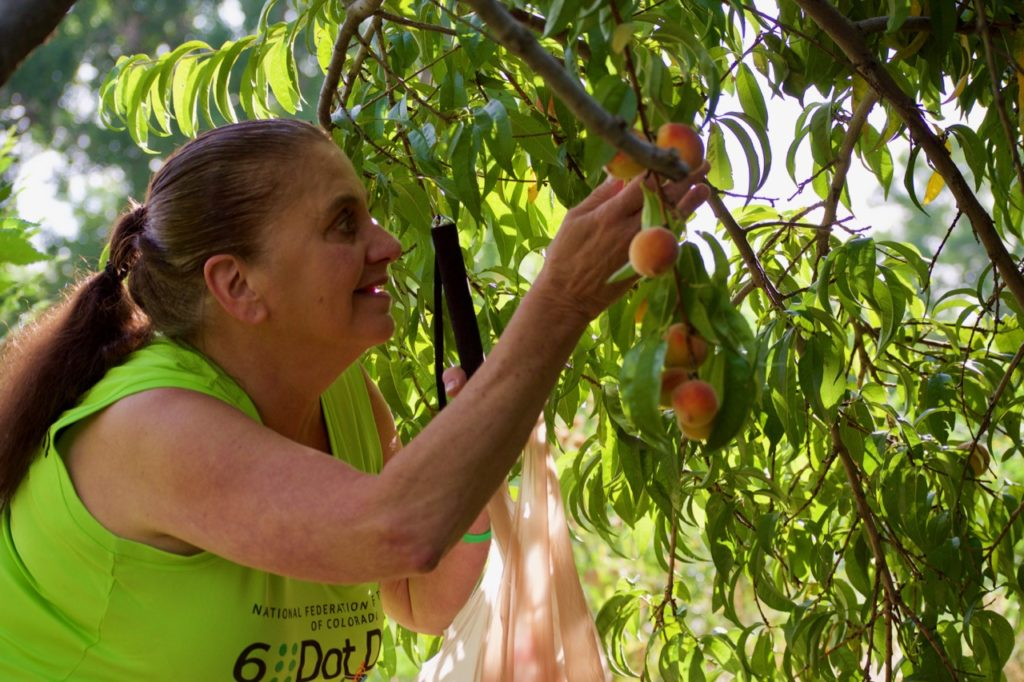 Susan picks Peaches from the CCB Garden